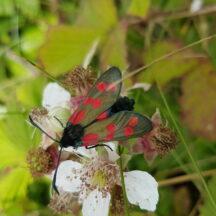 Six spotted Burnet on blackberry flower