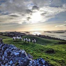 Clonbur sheep   Gráinne Holleran-Mullins