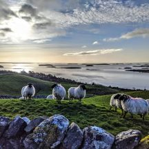 Sheep in Clonbur   Gráinne Holleran-Mullins