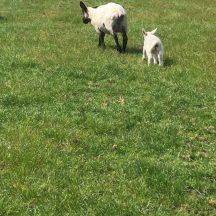 Sheep and lambs | Marka Gilhooley