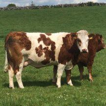Cows | Marka Gilhooley