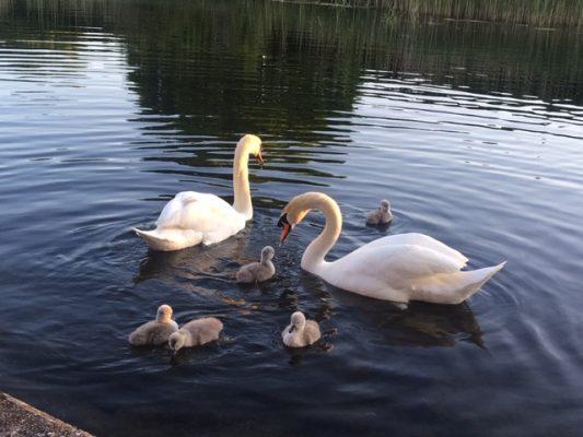 Swans  | Joan Raleigh
