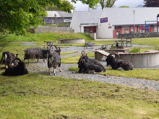 Goats in Letterfrack | Thomas O'Sullivan