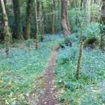 Mountbellew Wood   Geraldine Noone