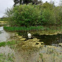 Swan   Geraldine Noone