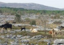 Cattle on the Limestone Landscape