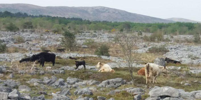 Cattle on the Limestone Landscape in Moycullen    Joe Loughnane