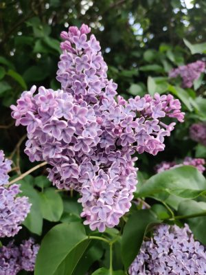 Lilac   Claire Lyons