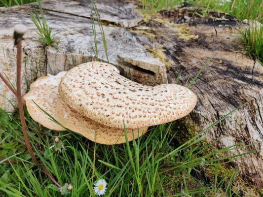 Mushroom | Claire Lyons