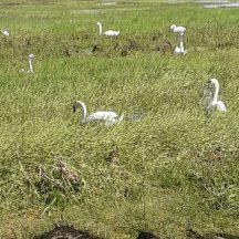 Swans | Anne Mannion