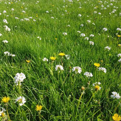 Moylough wildflowers   Anne Mannion