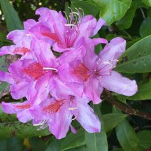 Rhododendrons | Antoinette Lydon