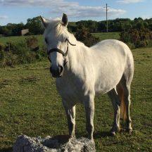 Connemara Pony | Antoinette Lydon