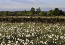 Bog cotton and Pollboy bog