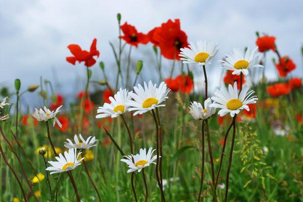 Roadside Wildflowers Beechlawn, Ballinasloe | Robert Riddell