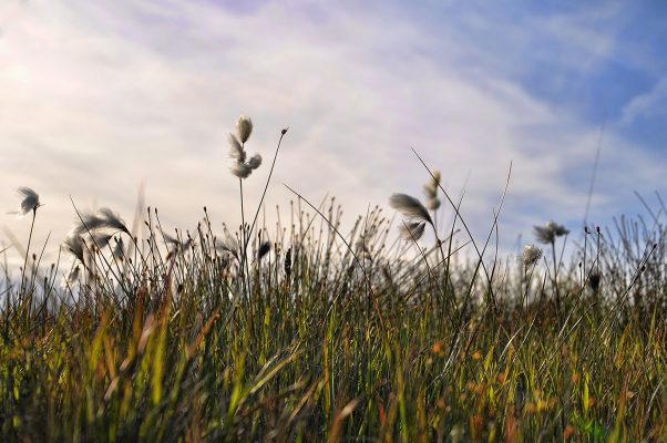 Roundstone Bog Cotton | Robert Riddell