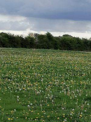 The Dandelion Field | Bride Brady