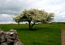 Whitethorn (sceach gheal)