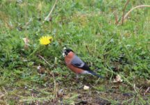 Robin and Bullfinch
