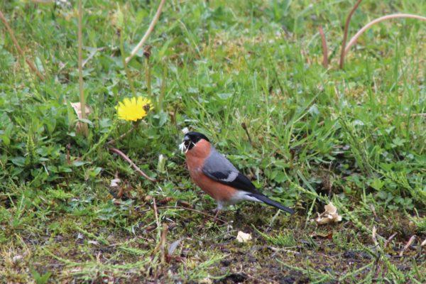 Bullfinch   Mannion