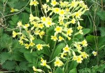 False oxlip flower