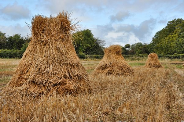 stucks of oats, Oatfield | Robert Riddell