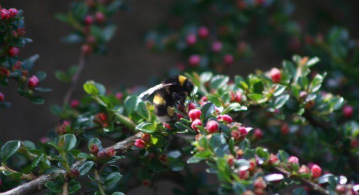 Bumble Bee at work | David Walsh