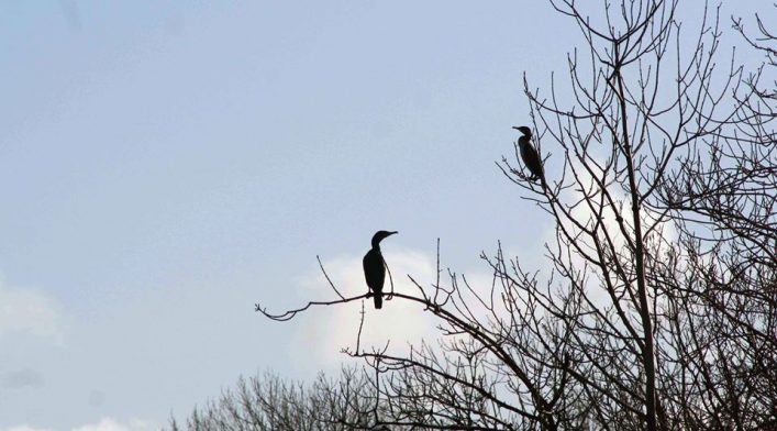 Cormorants | David Walsh