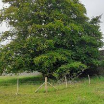 Beech tree | Geraldine Noone