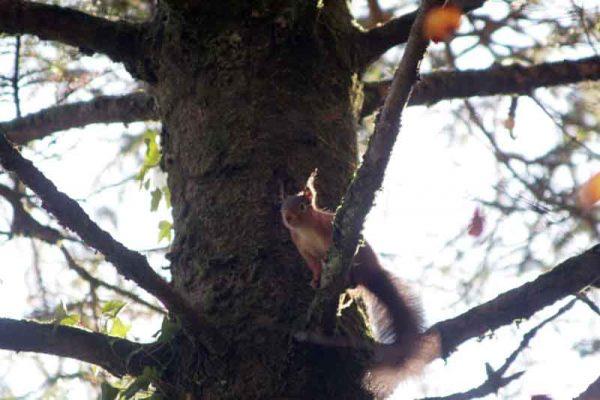 Red squirrel   David Walsh