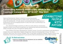 The Galway Buzz