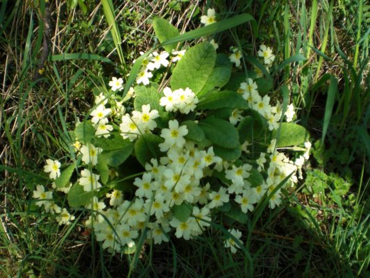Primroses herald Summer's arrival
